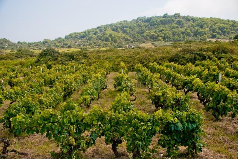 Winnica na Vis wyspie, Chorwacja fotografia stock