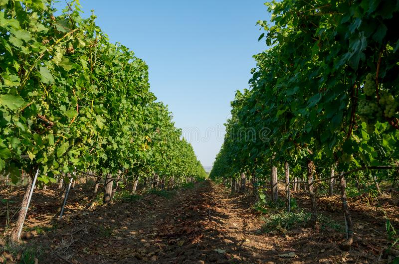 Winnica plantacja gronowi pelengów winogrady zdjęcie stock