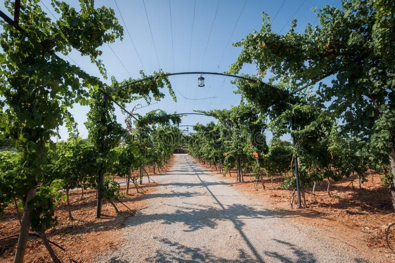 Winnica plantacje w Mallorca Inka, Mallorca, Hiszpania obrazy royalty free
