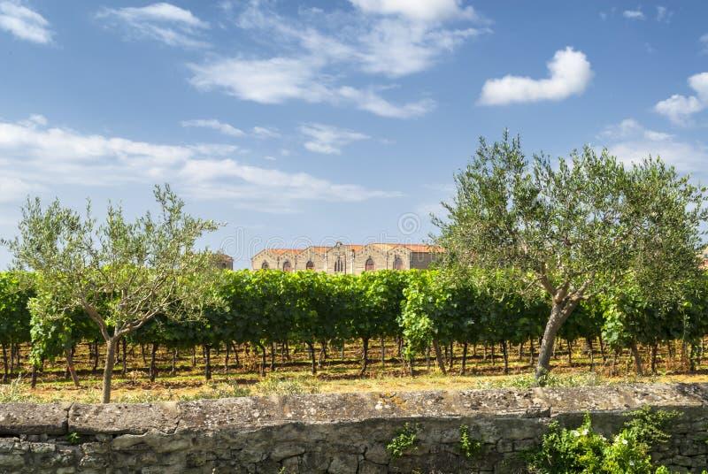 Winnica przy latem w Languedoc Roussillon obraz royalty free