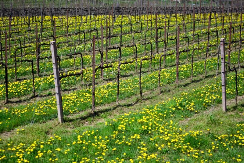 Winnica w łąkach pokryta kwiatami mniszka fotografia royalty free