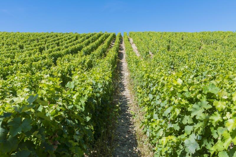 Winnica w Sancerre zdjęcia stock