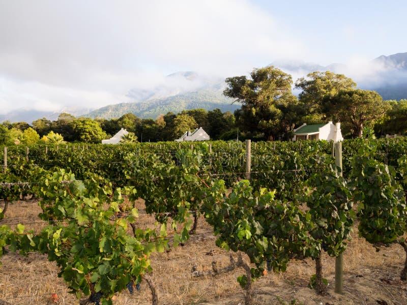 Winnica w Winelands w Zachodnim przylądku, Południowa Afryka obraz stock