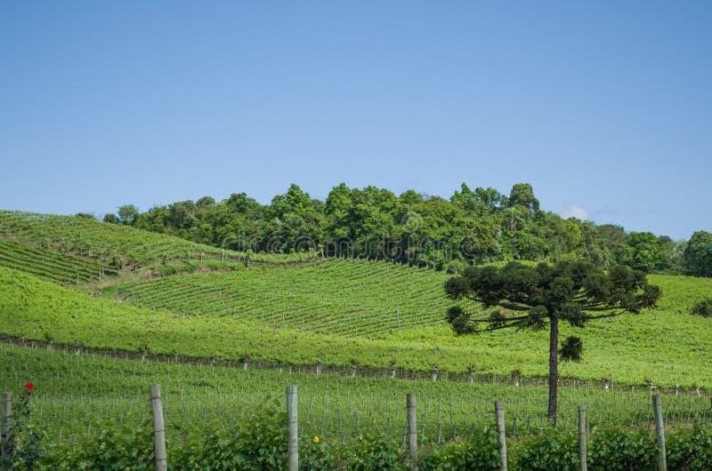 Winnica winogrona w doliny dos Vinhedos obraz stock