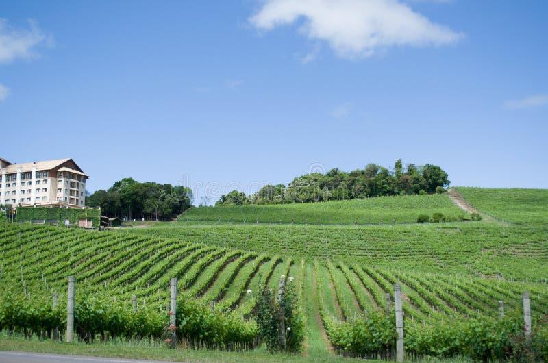 Winnica winogrona w doliny dos Vinhedos w Bento Gonçalves, zdjęcia royalty free