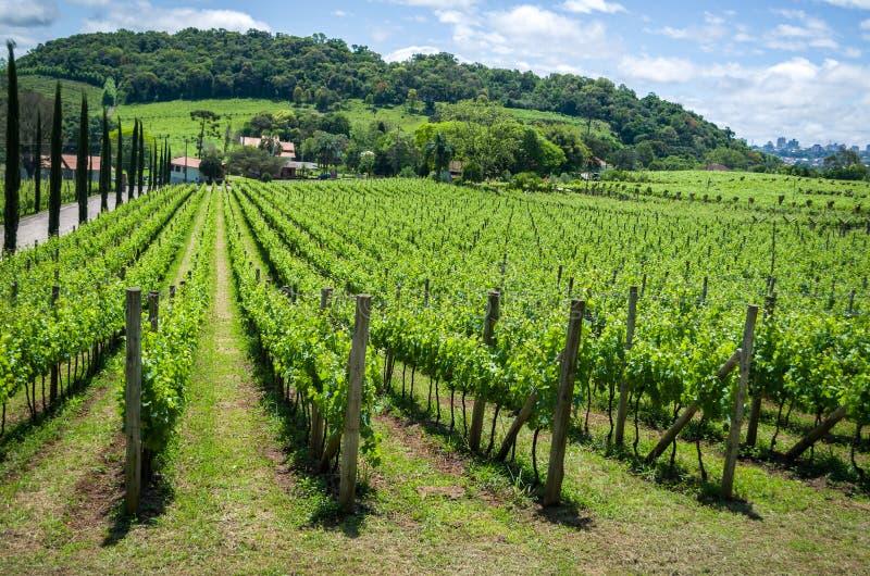 Winnica winogrona w doliny dos Vinhedos w Bento Gonçalves, zdjęcia stock