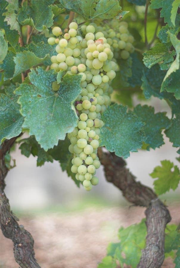 winnica winogronowy obrazy stock
