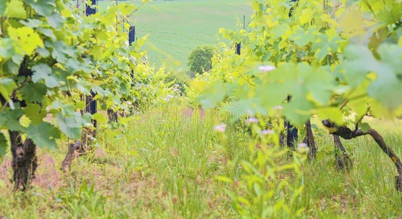 Winnica wiosłuje przy Południowym Moravia, republika czech zdjęcie stock