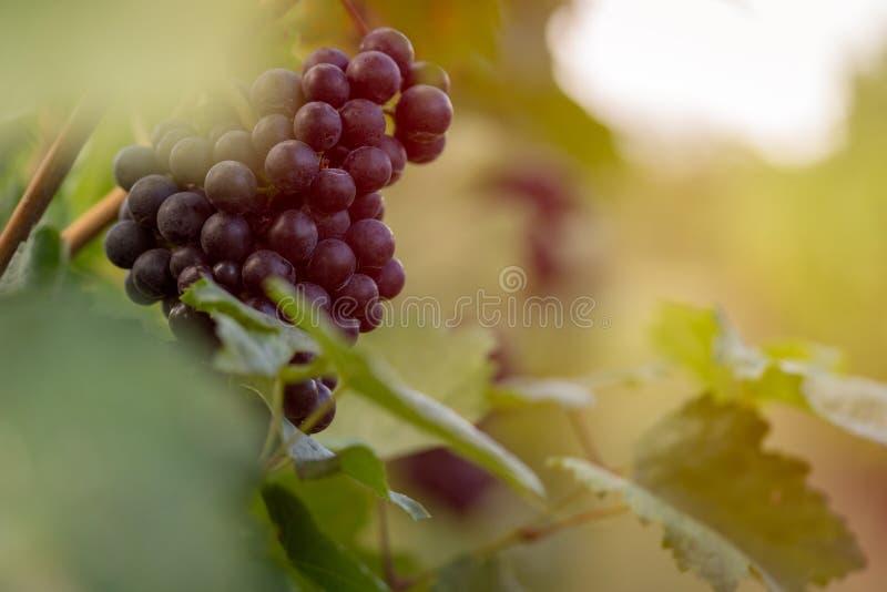 Winnica z dojrzałymi winogronami przy zmierzchem zdjęcie stock