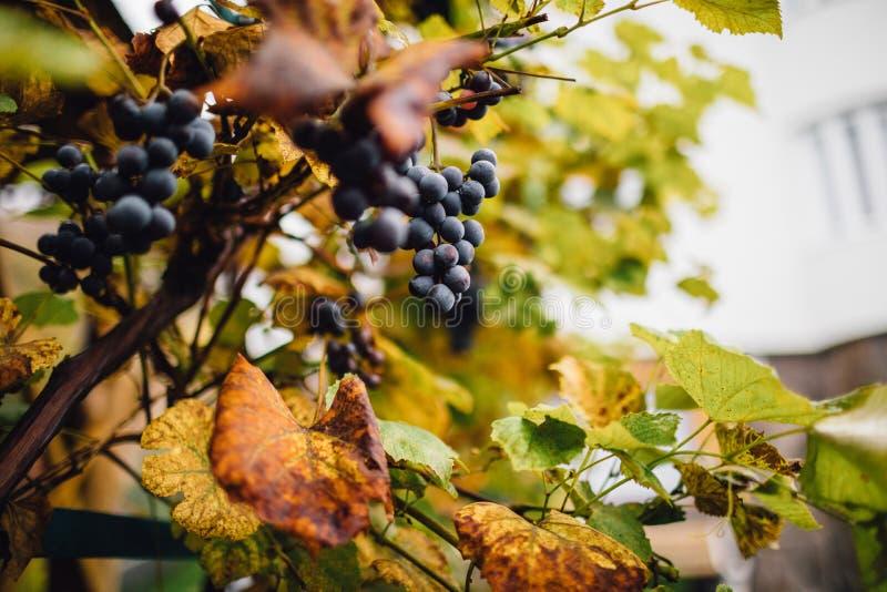 Winnica z dojrzałymi winogronami w wsi przy zmierzchem obrazy royalty free