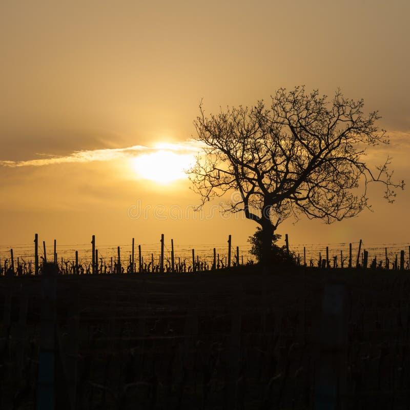 winnica z drzewem blisko Velke Bilovice, republika czech zdjęcie royalty free