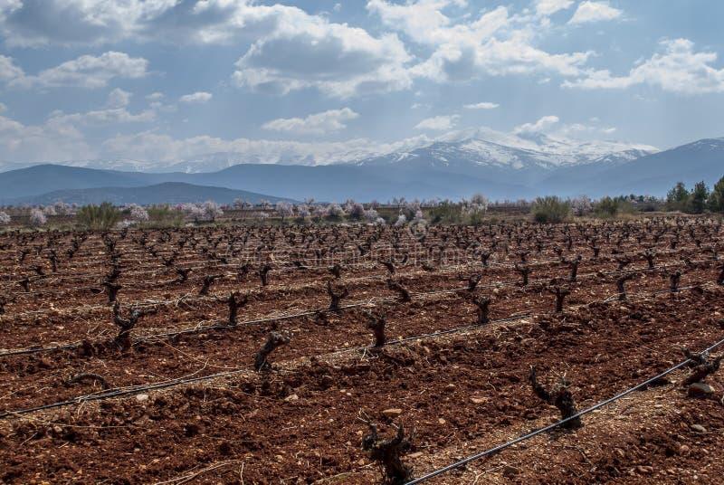 Winnica z sierra Nevada góry, Hiszpania, w tle fotografia royalty free