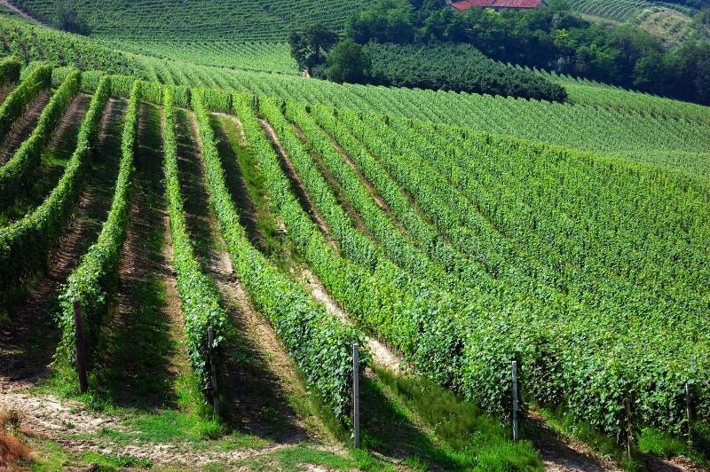 winnice zdjęcie stock