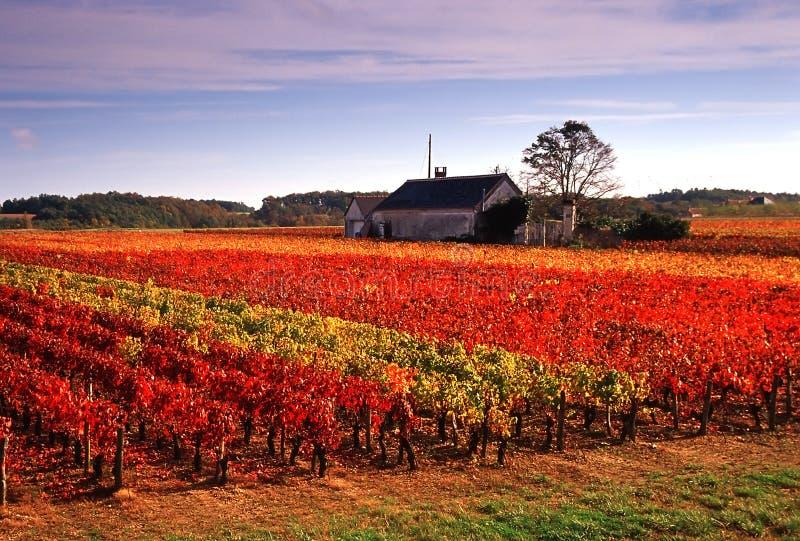 winnice obrazy stock