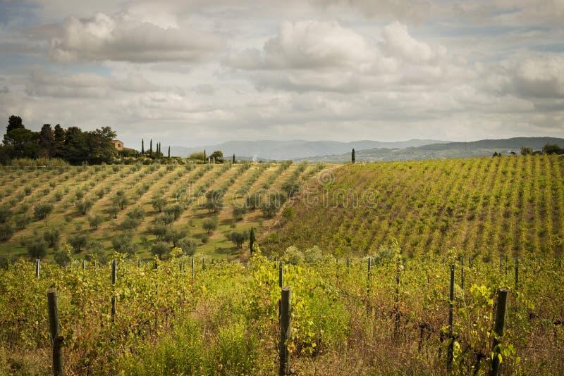 Winnicy i Oliwni gaje w Tuscany obraz stock