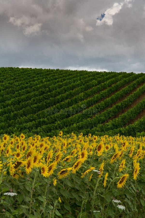 Winnicy i słoneczniki obrazy royalty free