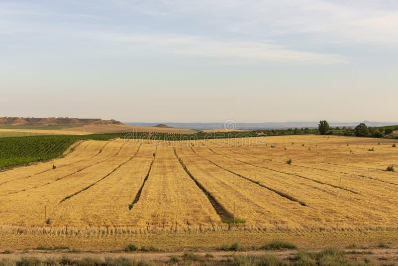 Winnicy krajobraz z systemem irygacyjnym z kapinosem woda, przy zmierzchem Raïmat wina Caberneet Sauvignon Merlot, syrah, Pynot fotografia royalty free