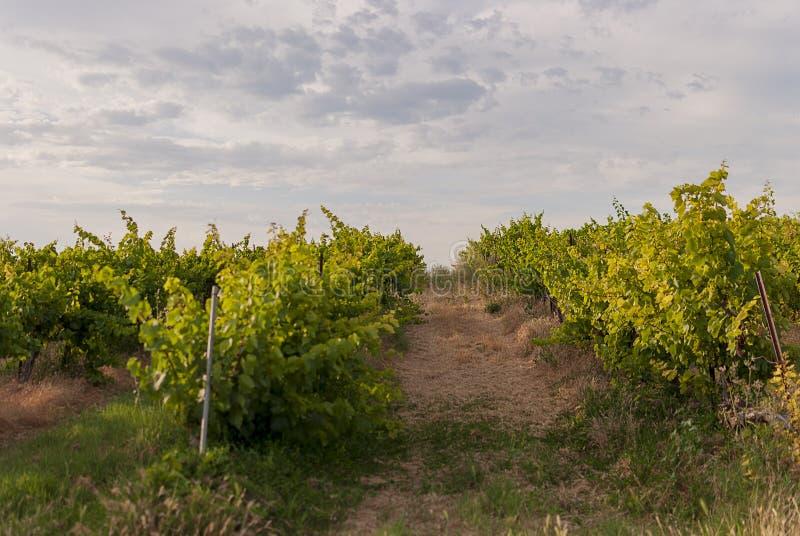 Winnicy krajobraz z systemem irygacyjnym z kapinosem woda, przy zmierzchem Raïmat wina Caberneet Sauvignon Merlot, syrah, Pynot zdjęcia stock