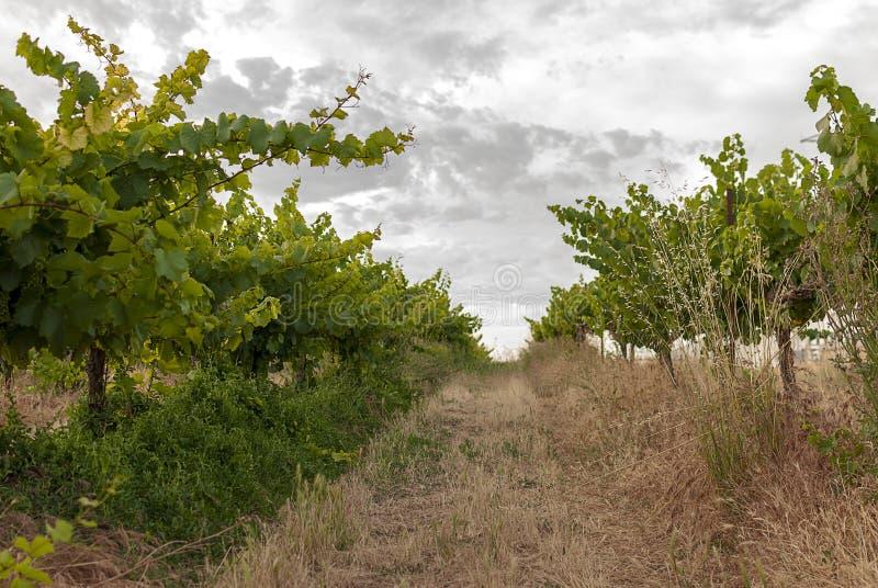 Winnicy krajobraz z systemem irygacyjnym z kapinosem woda, przy zmierzchem Raïmat wina Caberneet Sauvignon Merlot, syrah, Pynot zdjęcie royalty free