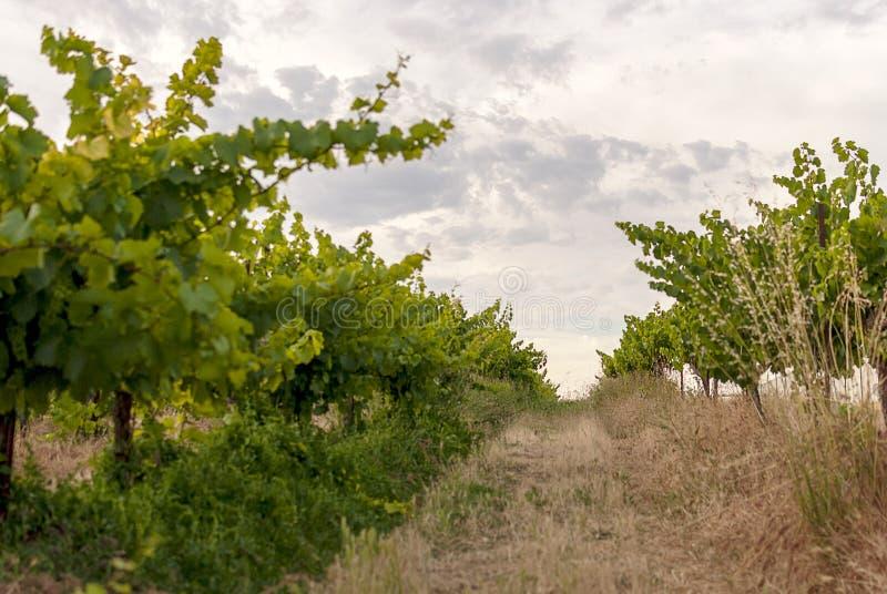 Winnicy krajobraz z systemem irygacyjnym z kapinosem woda, przy zmierzchem Raïmat wina Caberneet Sauvignon Merlot, syrah, Pynot obraz royalty free