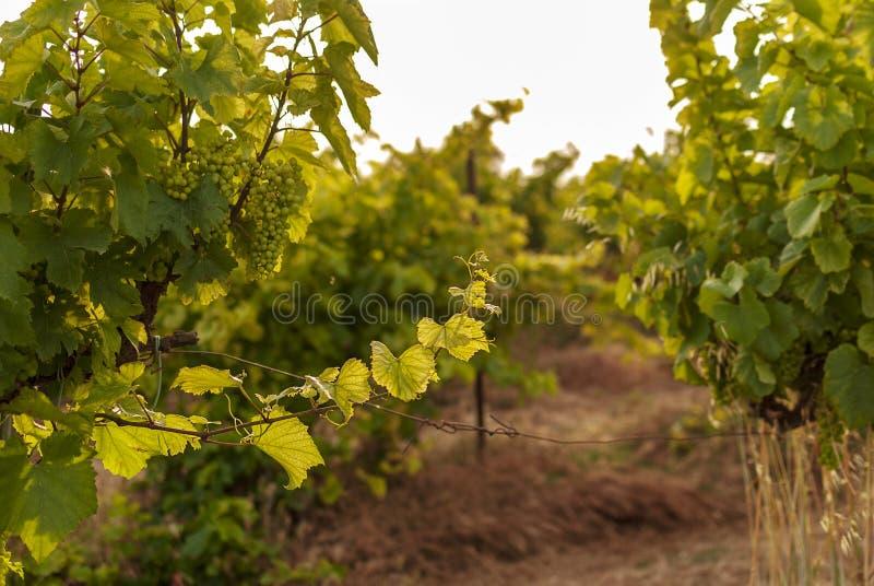 Winnicy krajobraz z systemem irygacyjnym z kapinosem woda, przy zmierzchem Raïmat wina Caberneet Sauvignon Merlot, syrah, Pynot zdjęcie stock