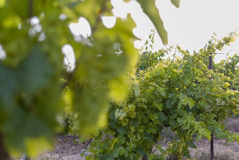 Winnicy krajobraz z systemem irygacyjnym z kapinosem woda, przy zmierzchem Raïmat wina Caberneet Sauvignon Merlot, syrah, Pynot obraz stock