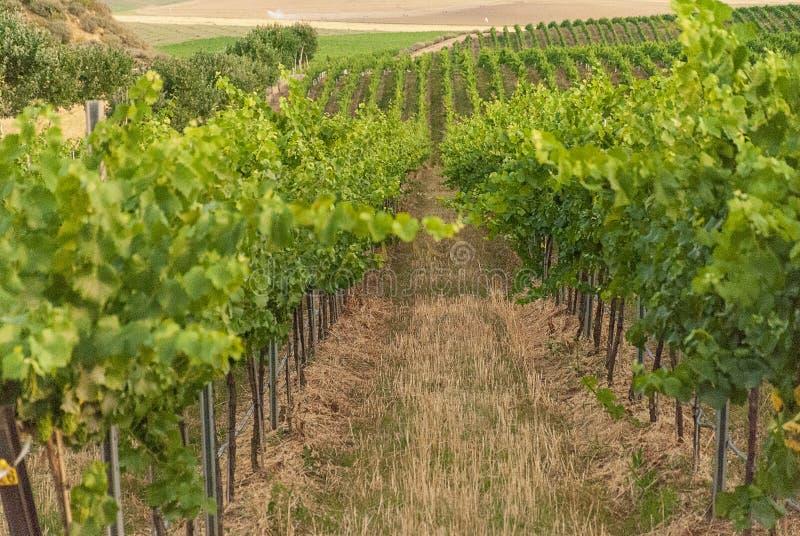 Winnicy krajobraz z systemem irygacyjnym z kapinosem woda, przy zmierzchem Raïmat wina Caberneet Sauvignon Merlot, syrah, Pynot obrazy royalty free