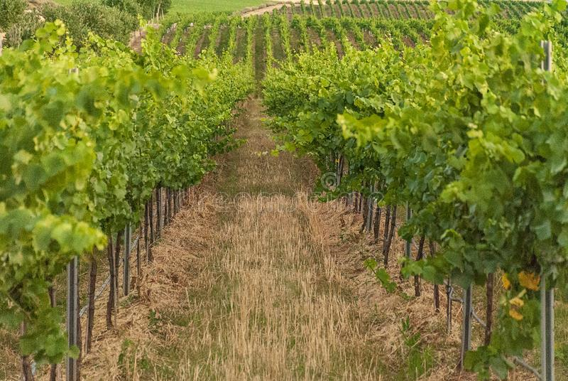 Winnicy krajobraz z systemem irygacyjnym z kapinosem woda, przy zmierzchem Raïmat wina Caberneet Sauvignon Merlot, syrah, Pynot obrazy stock