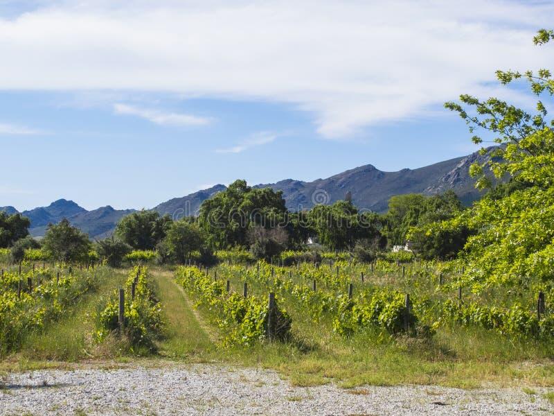 Winnicy lokalizować między górami Południowa Afryka zdjęcie royalty free