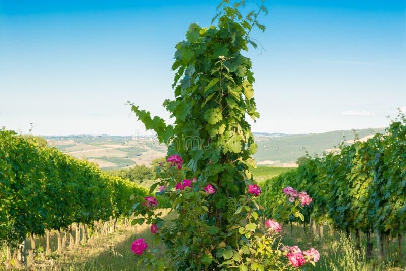 Winnicy Montalcino, wino, Siena, Tuscany zdjęcie stock