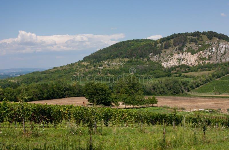 Winnicy pod Palava wzgórzem w republika czech zdjęcie royalty free