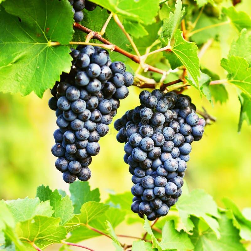 Winnicy przy zmierzchem w jesieni zbierają Dojrzałych winogrona Wino region, Południowy Moravia - republika czech Winnica pod Pal zdjęcie stock