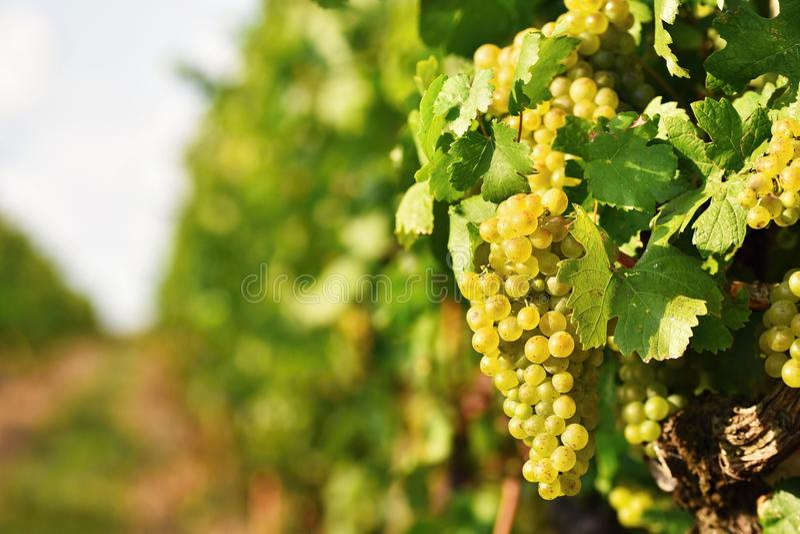 Winnicy przy zmierzchem w jesieni zbierają Dojrzałych winogrona Wino region, Południowy Moravia - republika czech Winnica pod Pal zdjęcie royalty free