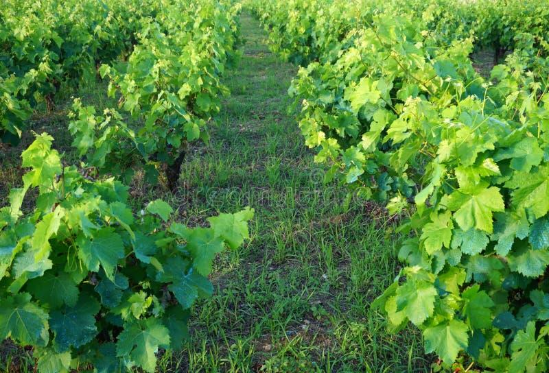 Winnicy rząd między dwa liniami winorośl w wczesnym lecie zdjęcia stock