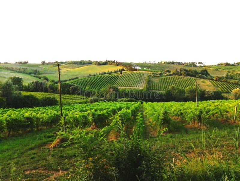Winnicy Sangiovese zdjęcia stock