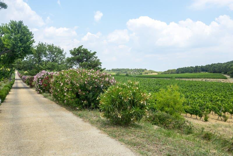 Winnicy w Languedoc Roussillon fotografia royalty free