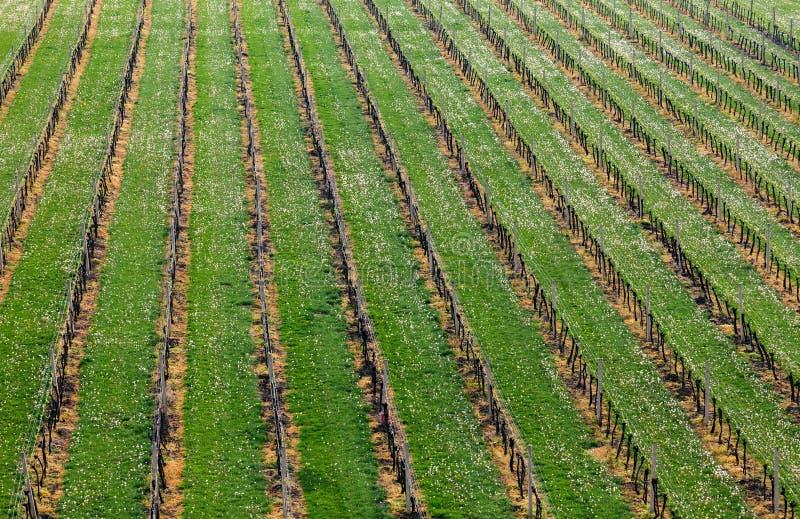 Winnicy w wino regionie Palava, Południowy Moravia, republika czech, obraz royalty free