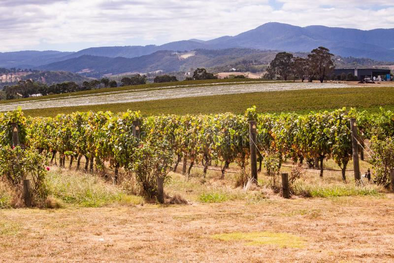 Winnicy w Yarra dolinie blisko Melbourne, Australia fotografia stock