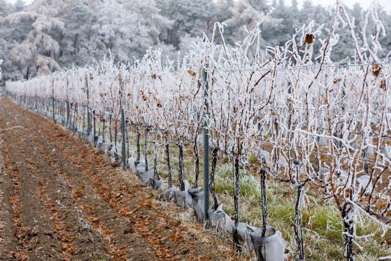 winnicy w zimie, Znojmo region, republika czech zdjęcia royalty free