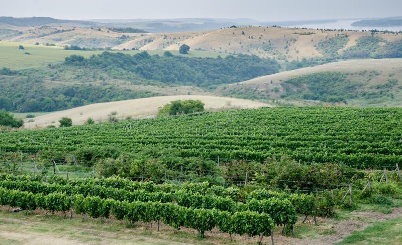 Winnicy wzdłuż Danube rzeki w Północno-wschodni Bułgaria fotografia royalty free