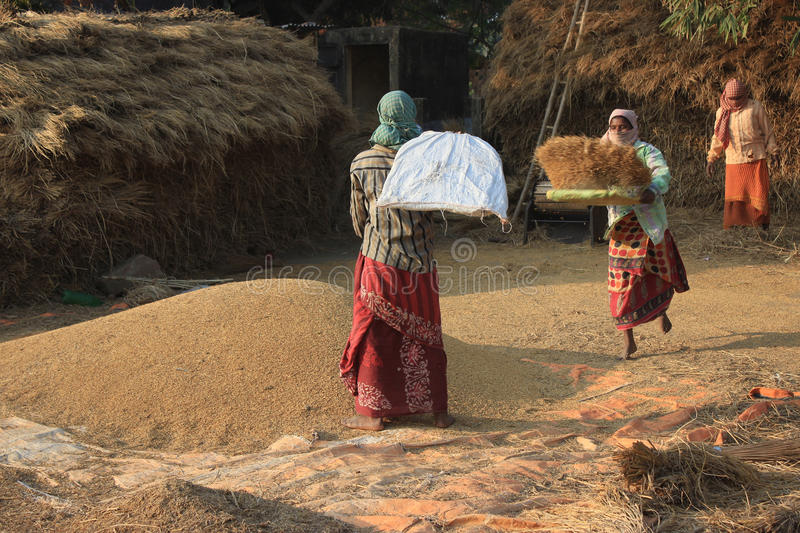 Winnowing. Women threshing paddy. Three women are busy in winnowing husk after h. Burdwan,West Bengal,India on 29th December, 2014- Winnowing. Women threshing stock image