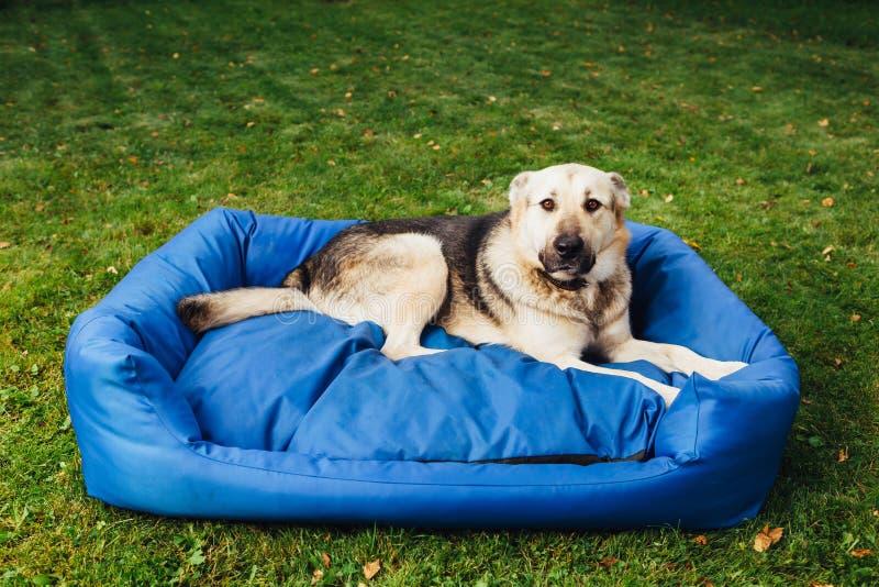 Winny pies na jego łóżkowej, zielonej trawy tle, zdjęcia royalty free