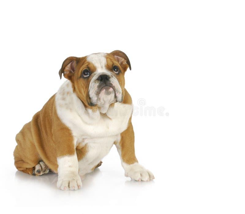 Winny przyglądający pies zdjęcie royalty free