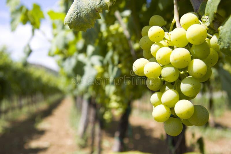 wino jard obrazy stock