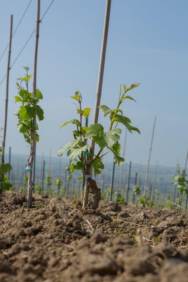 Wino jard zdjęcie royalty free