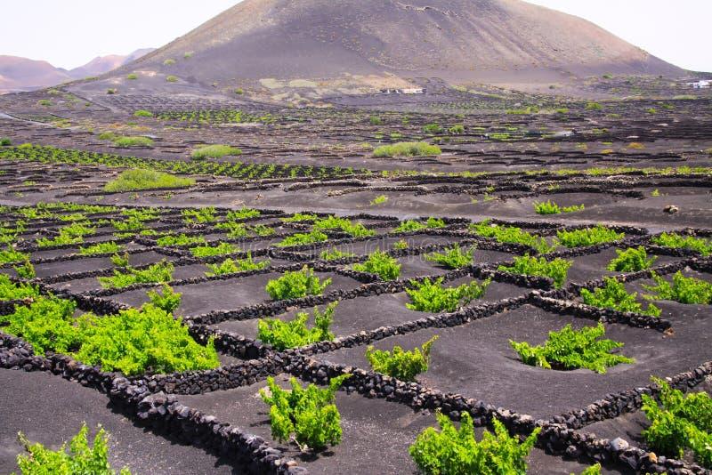 Wino narastający teren na powulkanicznego popiółu suchej ziemi blisko Uga, Lanzarote zdjęcia royalty free