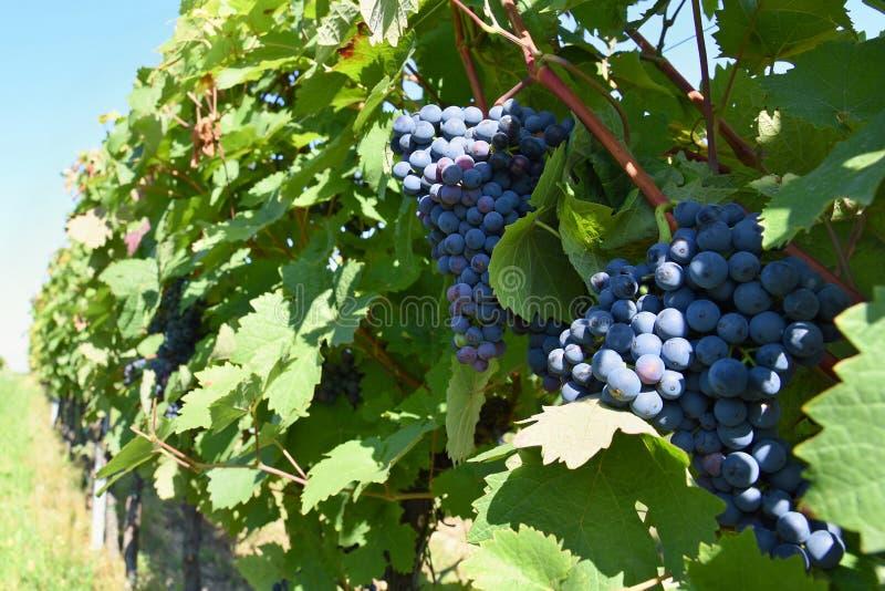 Wino w winnicy Wino region Południowy Moravia republika czech fotografia stock