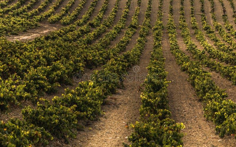 Wino winogradu jard fotografia royalty free