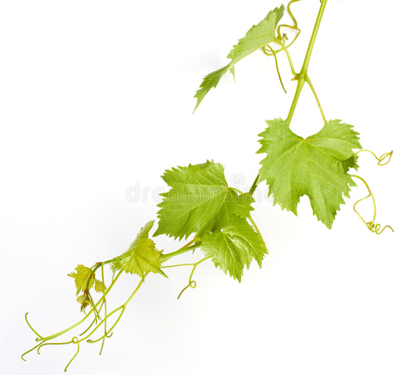 Wino zieleni liść obraz royalty free