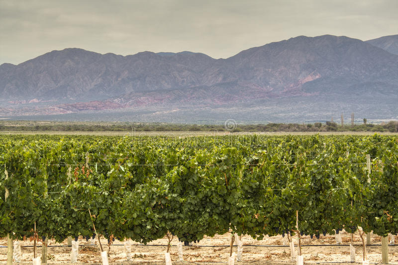 Winogradów jardy w Cafayate obrazy stock